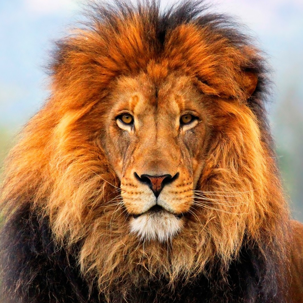 Wallpaper iphone lion - Lion Wallpapers Backgrounds Hd For Iphone